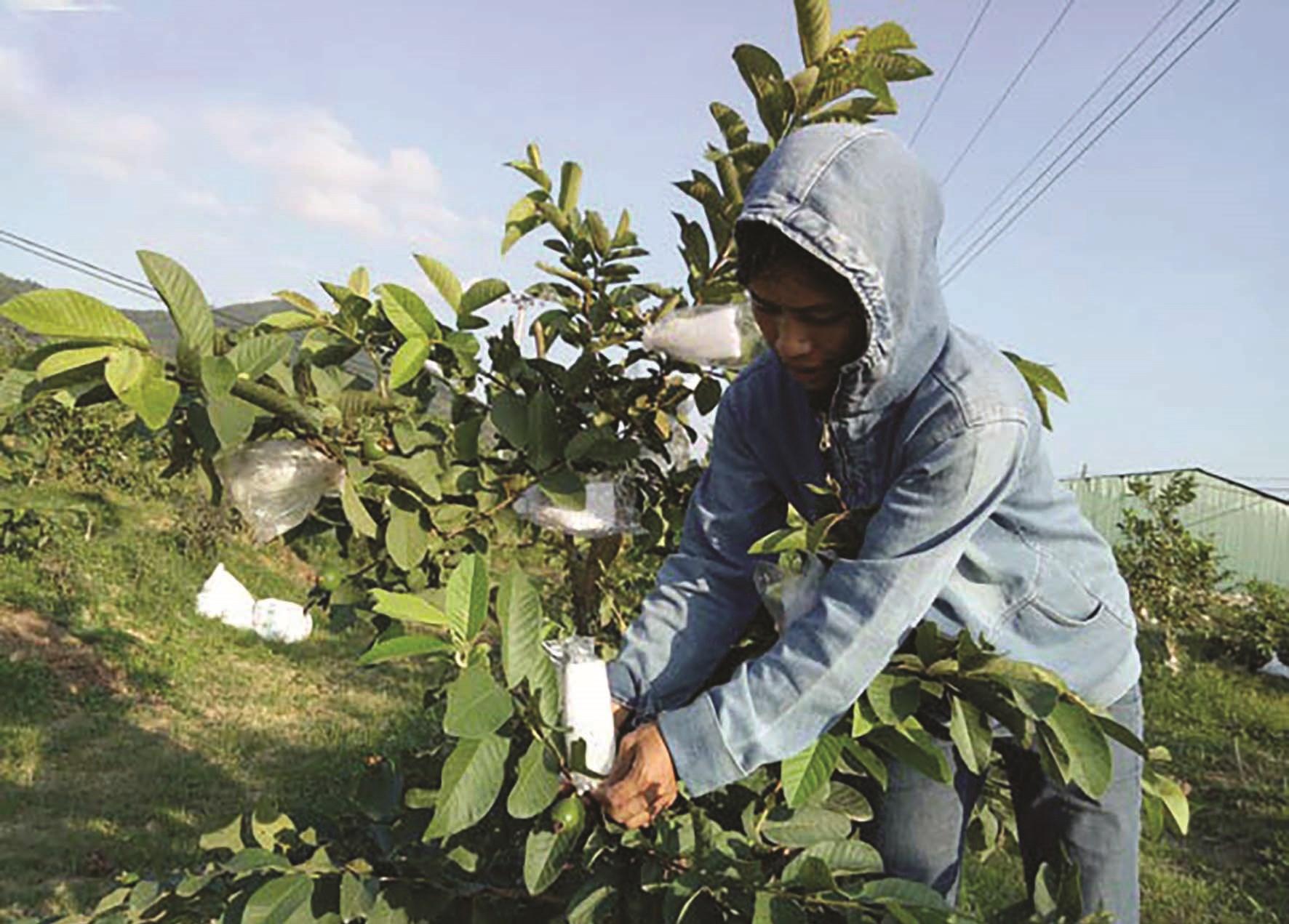 Ở nhiều xã của huyện Yên Thành, việc trồng các loại cây ăn quả đang trở thành phong trào