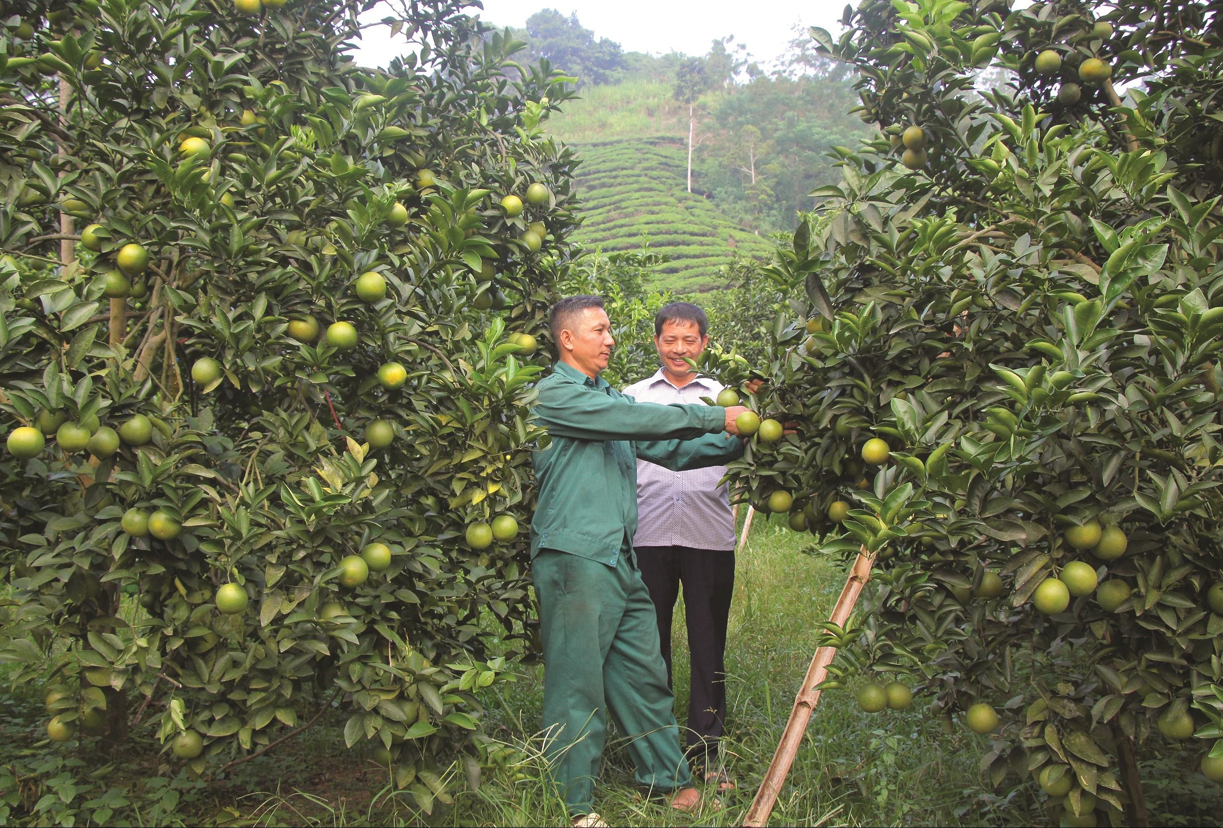 Anh Nguyễn Văn Hải (bìa trái) phát triển kinh tế từ việc trồng cam.
