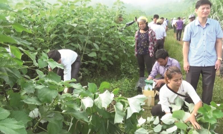 Nhờ ứng dụng khoa học - kỹ thuật, nông dân huyện Cẩm Thủy đã đưa cây gai xanh vào sản xuất, nâng giá trị thu nhập tăng lên 3-5 lần so với cây trồng cũ