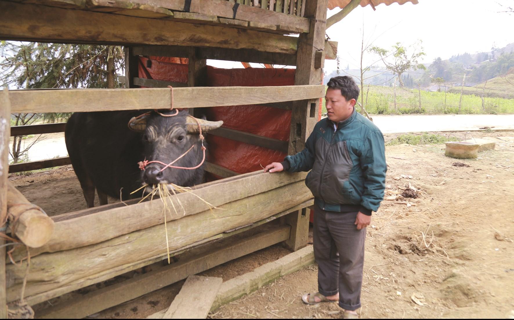 Phát triển chăn nuôi trâu nhốt chuồng không chỉ mang lại hiệu quả kinh tế mà còn giữ môi trường sạch sẽ.