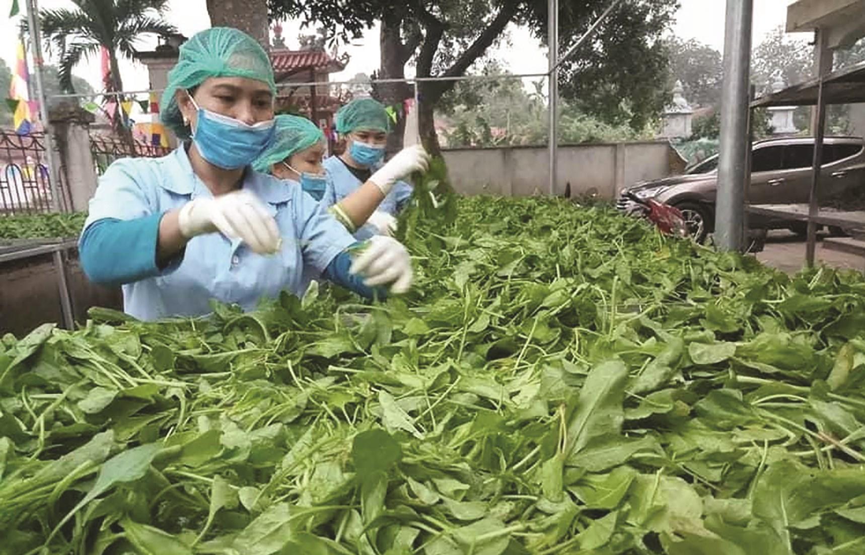 """Sản phẩm rau sạch từ mô hình nông nghiệp """"lười"""" của chị Nguyễn Thị Thu, xã Khánh Hà, huyện Thường Tín, TP. Hà Nội. (Ảnh nhân vật cung cấp)"""