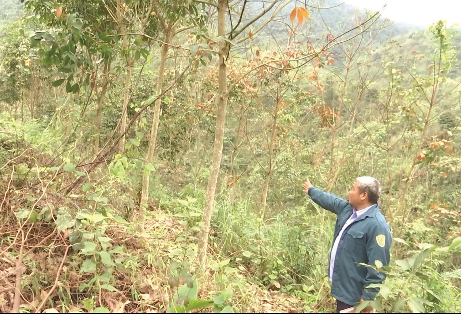 Do thị trường mủ cao su có nhiều biến động, tỉnh Lào Cai có chủ trương không mở rộng diện tích trồng cao su