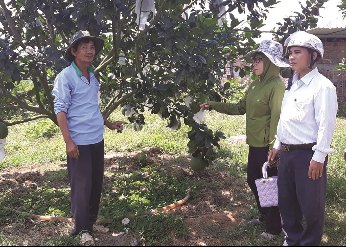 Nhờ áp dụng khoa học - kỹ thuật vào trồng bưởi da xanh, nhiều nông dân Khánh Vĩnh có thu nhập cao