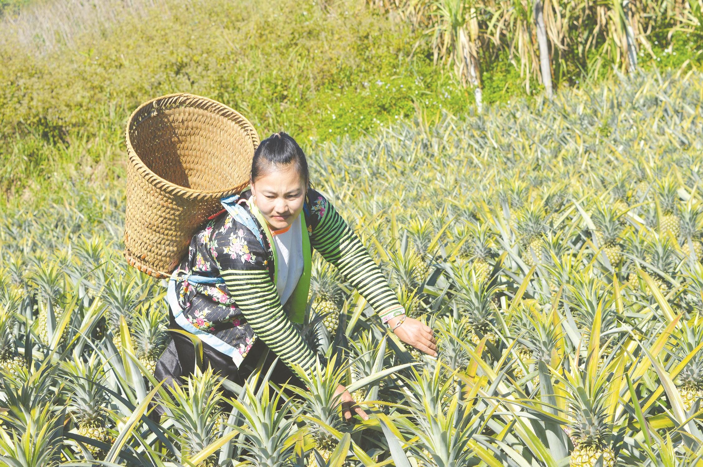 Từ Chương trình 135 của Chính phủ đã góp phần hỗ trợ sản xuất, tạo sinh kế cho người dân Pú Nhung xóa đói giảm nghèo hiệu quả. (Trong ảnh: Người dân Pú Nhung thu hoạch dứa)