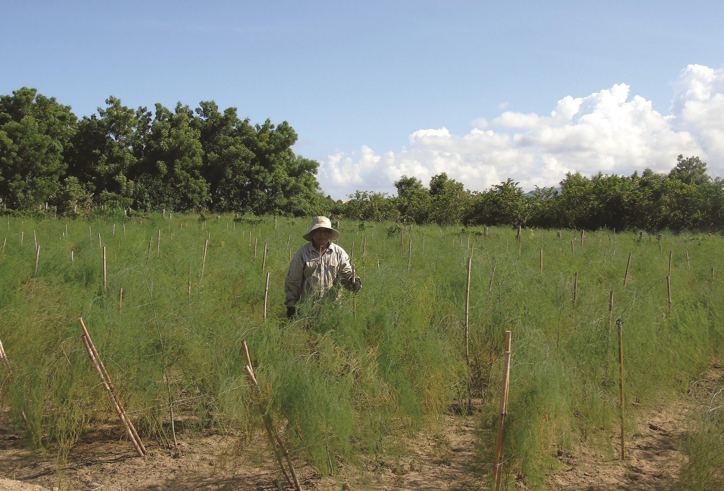 Mô hình trồng măng tây xanh ứng dụng công nghệ Israel đạt hiệu quả