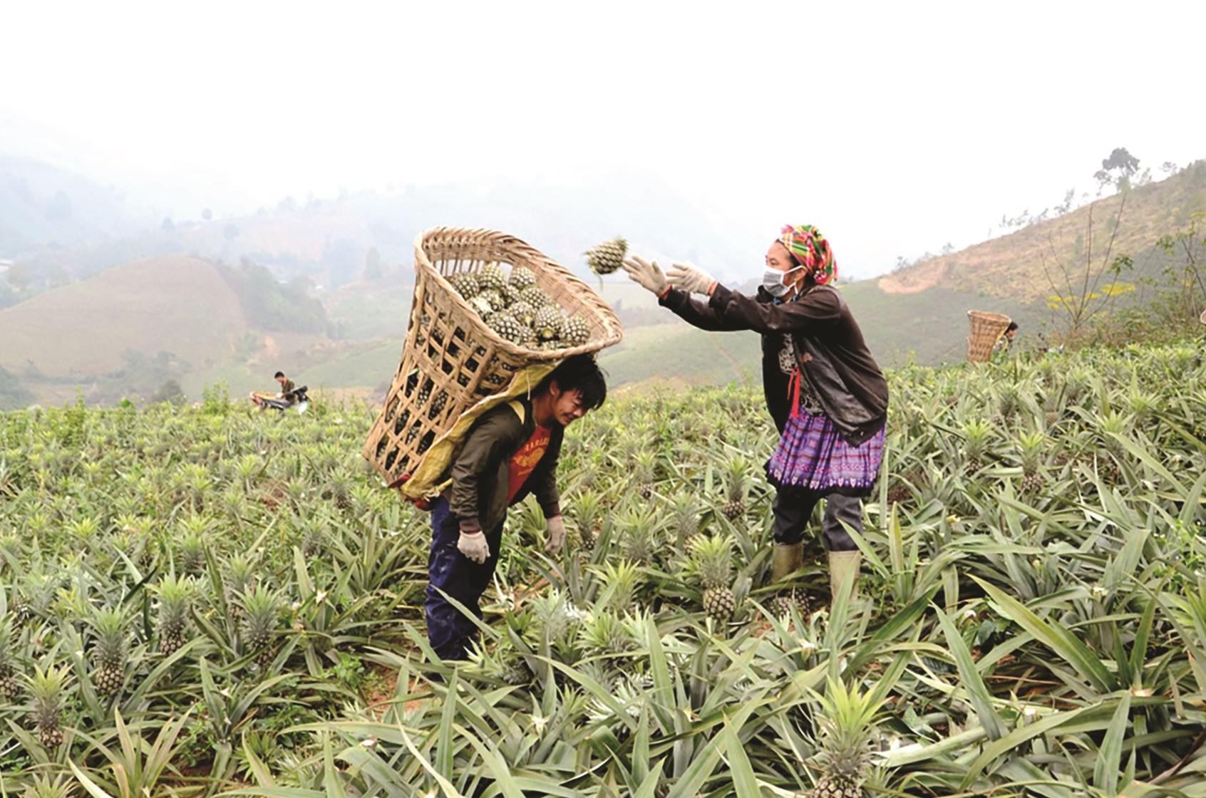 Thời gian tới, sản phẩm dứa của tỉnh Lào Cai sẽ có đầu ra ổn định, nâng cao thu nhập cho nông dân