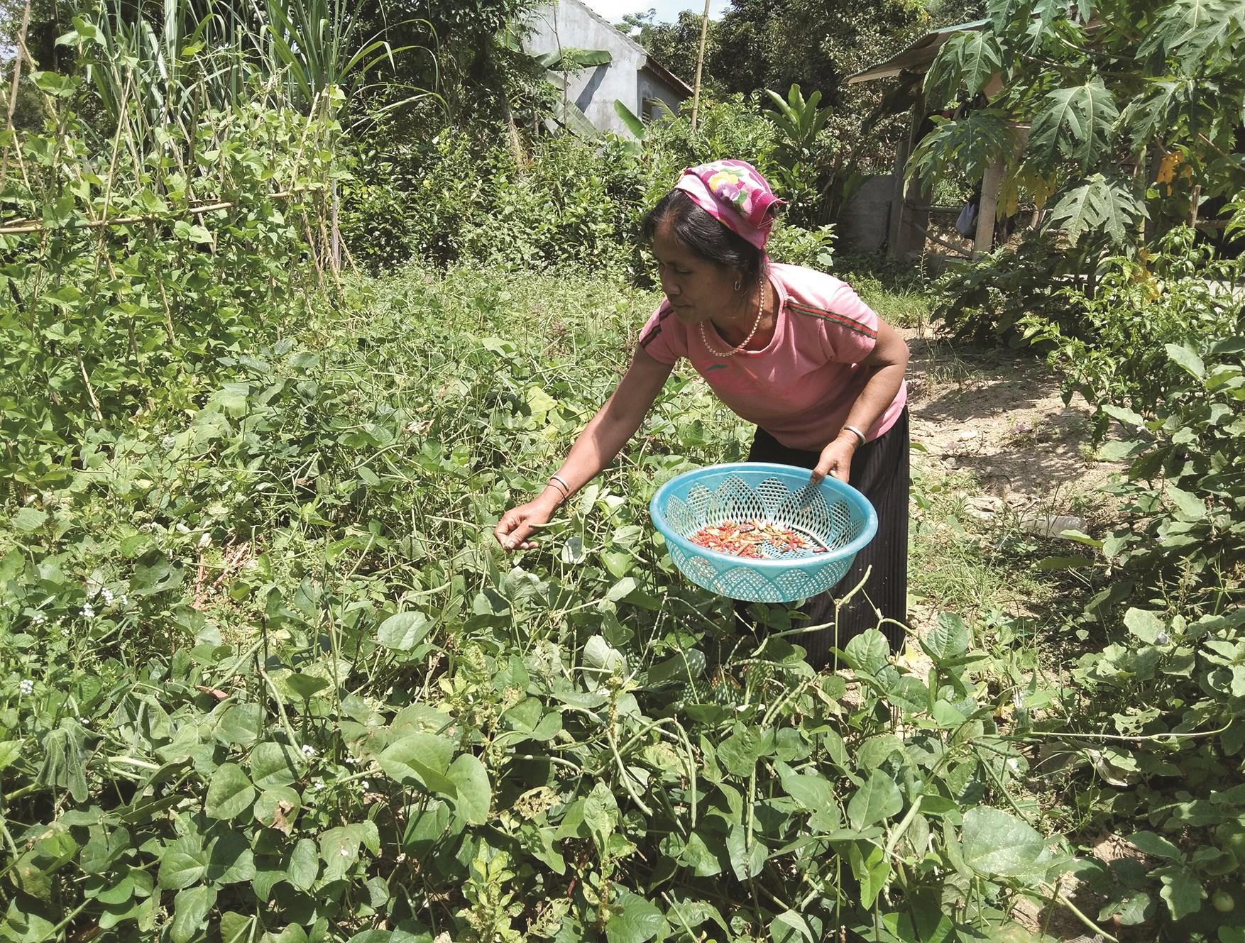 Chị La Thị Nguyệt thu hoạch đỗ xanh của gia đình ở bản Cửa Rào.