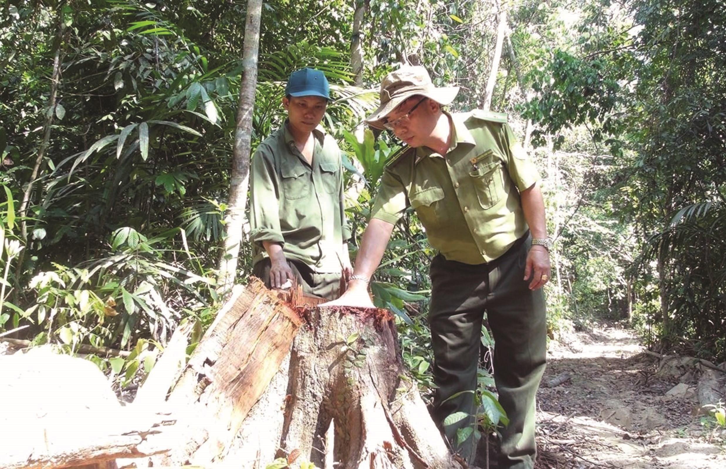 Nhiều gốc cây có đường kính 30 - 40cm bị lâm tặc triệt hạ.
