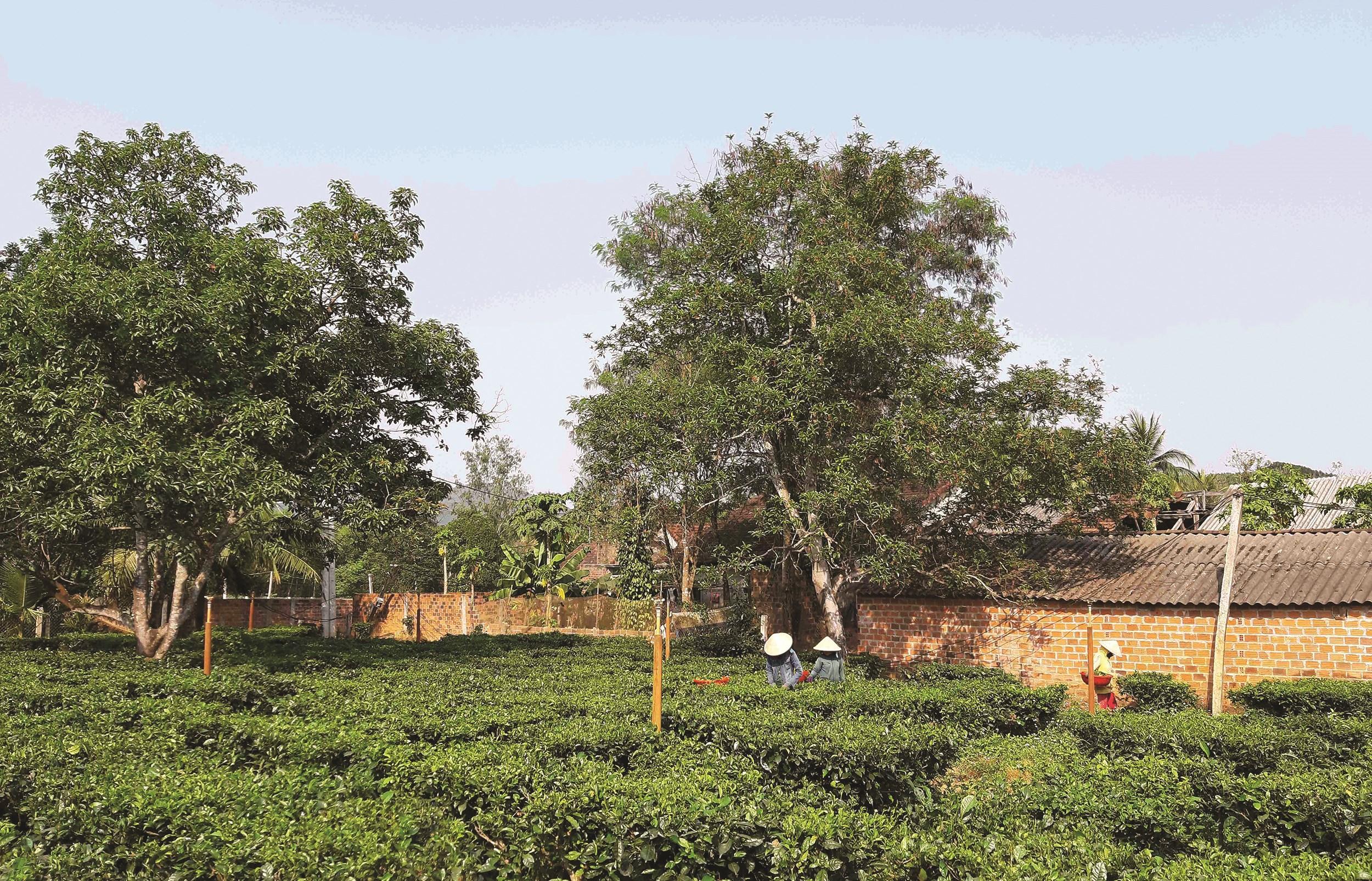 Những vườn chè Gò Loi đang được khôi phục lại, giúp địa phương có thêm sản phẩm đặc trưng và người dân có thêm thu nhập