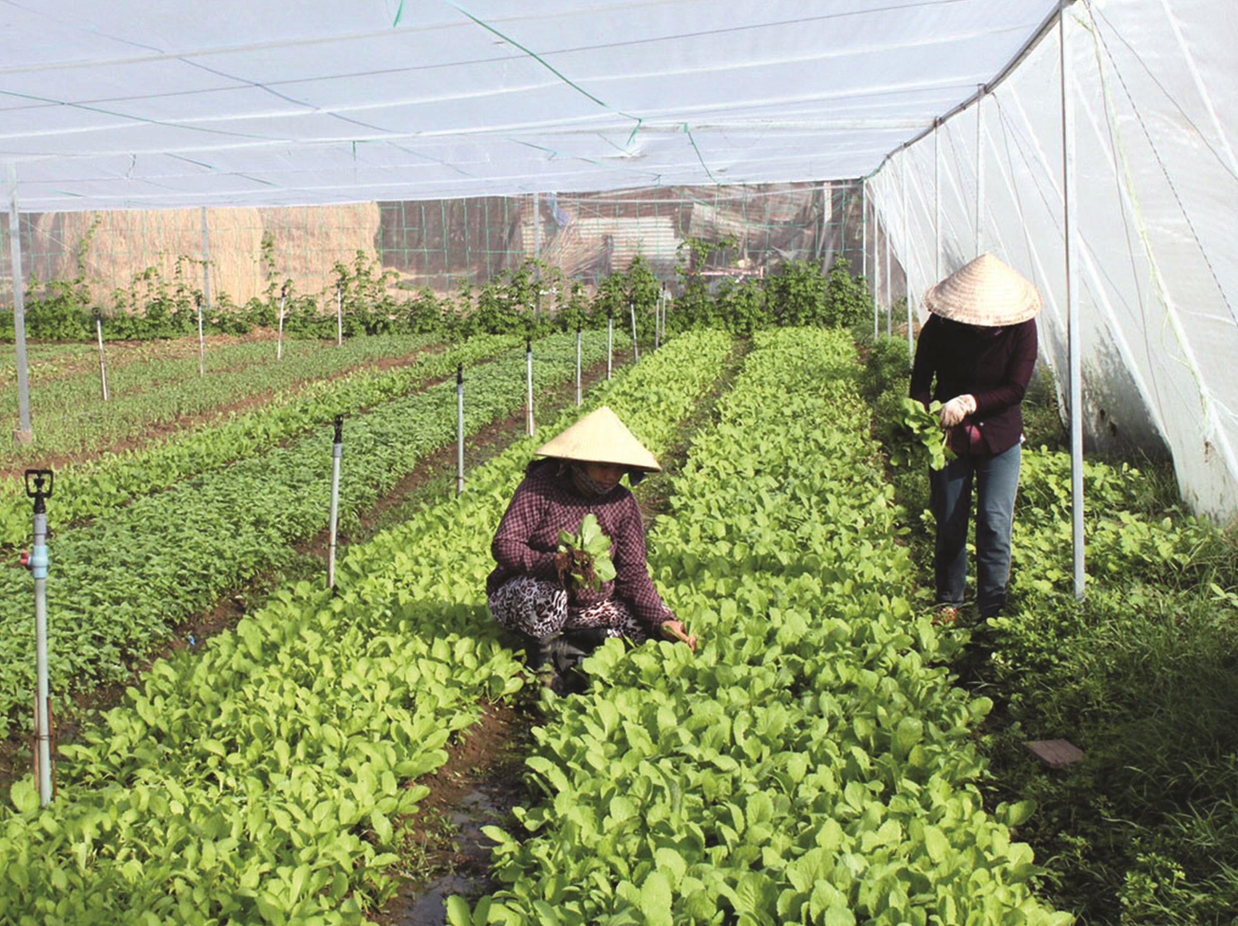 HTX BB Farm ứng dụng công nghệ cao trồng rau sạch đạt năng suất và hiệu quả cao.