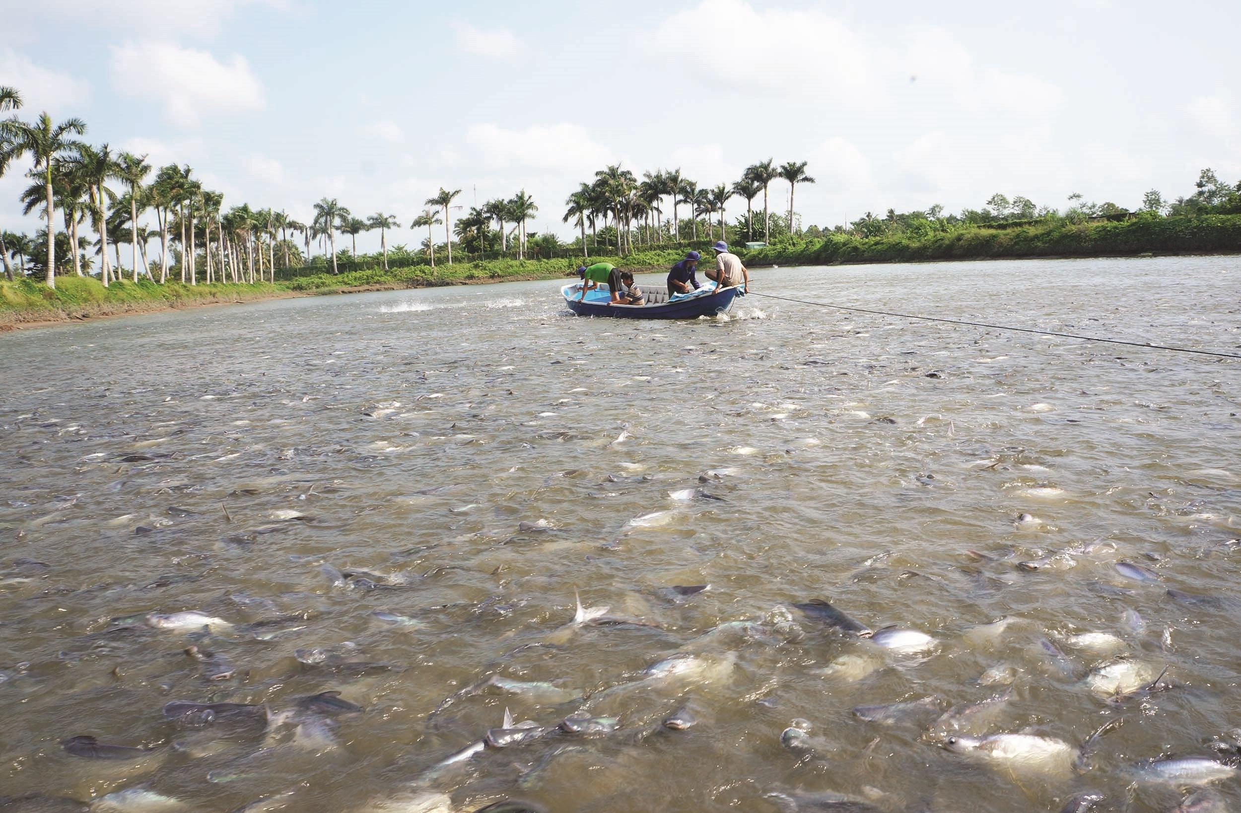 Ao nuôi cá tra nguyên liệu thuộc Công ty CP chế biến thuỷ sản Cần Thơ – Hà Nội.