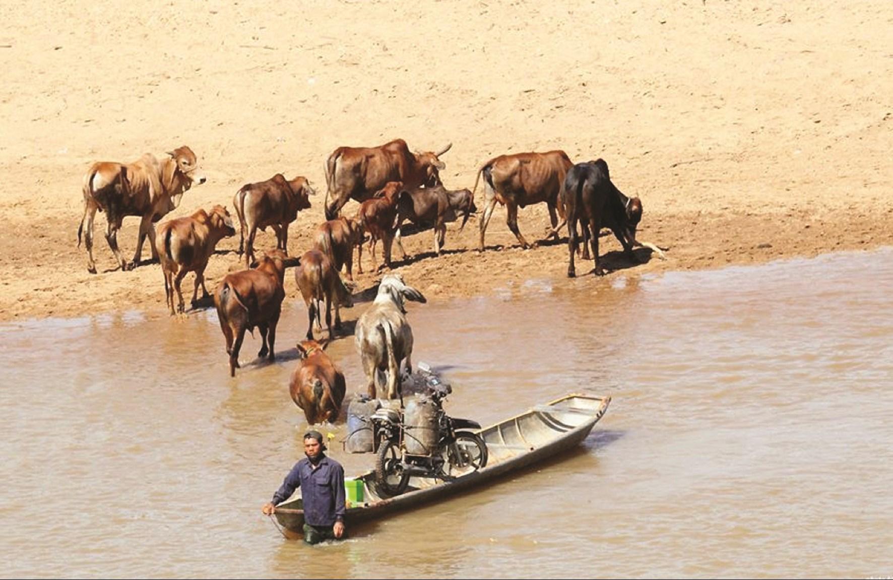 Nhiều người tranh thủ lùa bò xuống hồ để tắm mát và uống nước