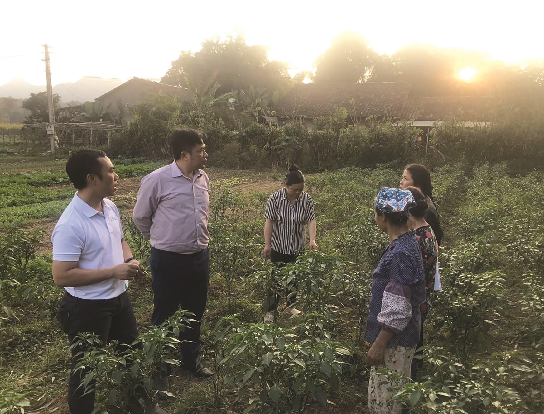 Người dân thôn Vò Rài, xã Hồng Việt, huyện Hòa An chăm sóc ớt theo mô hình Tổ hợp tác.