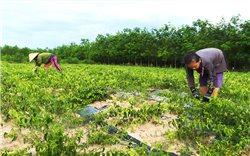 Cao chè vằng - Sản phẩm OCOP 4 sao mở hướng làm giàu cho nông dân