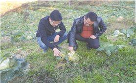 Nông dân Lào Cai cần chủ động phòng, chống rét cho cây trồng