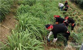 Bảo Lâm (Cao Bằng): Trồng sả góp phần nâng cao thu nhập cho đồng bào dân tộc