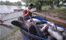 Đầu ra xuất khẩu khởi sắc, giá cá tra tăng mạnh