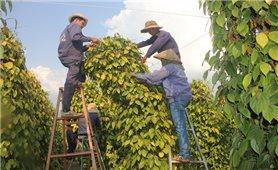 Gia Lai: Giá tiêu tăng liên tục, nông dân vẫn chưa thấy lãi