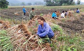 """Lục Yên (Yên Bái): Hỗ trợ mô hình trồng cây sả chanh """"sả Java"""""""