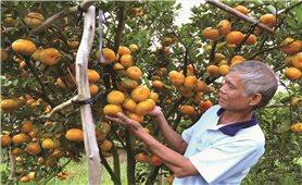 Lai Vung - Đồng Tháp: Cây đặc sản quýt hồng chết hàng loạt