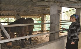 Bát Xát (Lào Cai): Hoán đổi ngựa thương phẩm thành ngựa giống?