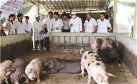 Chăn nuôi an toàn sinh học, có kiểm soát: Giải pháp tái đàn lợn bền vững