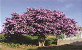 Bài thuốc chữa bệnh từ cây bằng lăng