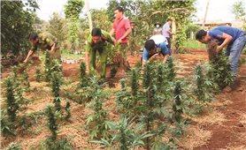 Đăk Lăk: Báo động tình trạng trồng cây cần sa trong vườn nhà
