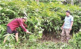 Điện Biên: Phát triển kinh tế rừng cho hiệu quả