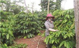 Lời giải nào cho bài toán tái canh cà phê ở Tây Nguyên - Tháo nút thắt vốn đầu tư (Bài 2)