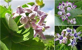 Bài thuốc chữa bệnh từ cây bồng bồng