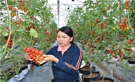 Khảo nghiệm thành công giống cà chua NT10