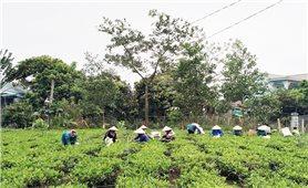Tuyên Quang: Nông dân đối ưu hóa quy trình sản xuất nâng cao giá trị cây trồng