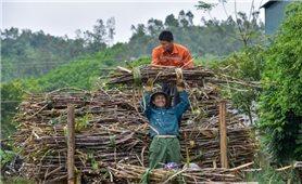Huyện miền núi Thạch Thành thoát nghèo nhờ cây mía