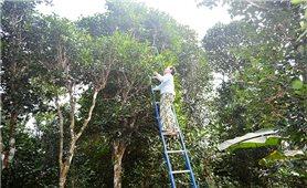 Về vùng Cùa nghe nói chuyện trồng cây đặc sản