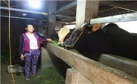 Mèo Vạc (Hà Giang): Tập trung dập dịch viêm da nổi cục cho trâu, bò