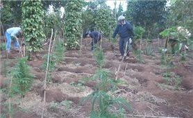 Tạm giữ đối tượng trồng trái phép hơn 1.000 cây cần sa