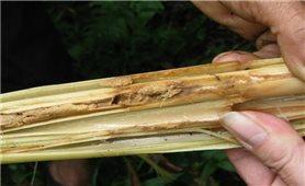 Kỹ thuật phòng trừ sâu đục thân hại cây thảo quả