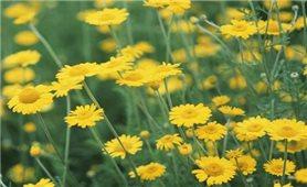 Những bài thuốc hay từ cúc hoa vàng
