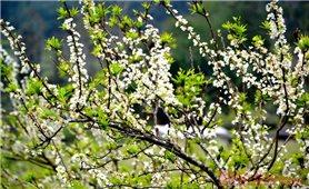 Mùa hoa mận trên cao nguyên trắng Bắc Hà