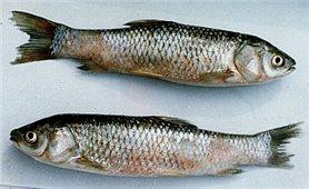 Cách phòng và trị bệnh xuất huyết ở cá trắm cỏ