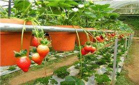 Kĩ thuật trồng dâu tây trong chậu