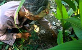 Bảo tồn và phát triển cây dược liệu ma-gang ở vùng núi Quảng Ngãi