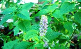 Hoắc hương phòng chữa bệnh tiêu hóa