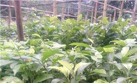 Cách trồng và chăm sóc cây dổi xanh hiệu quả