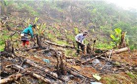 Hàng trăm ha chuối xuất khẩu ở Lào Cai chết lụi, thiệt hại nặng nề