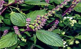 Bài thuốc chữa bệnh từ cây hương nhu tía