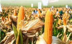Cây trồng công nghệ sinh học đóng góp cho phát triển nông nghiệp