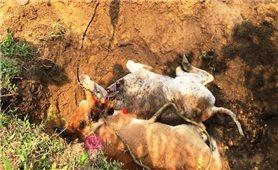 Xuất hiện dịch viêm da nổi cục trên đàn bò ở Sa Pa
