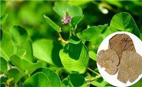 Những bài thuốc hay từ cây kim tiền thảo